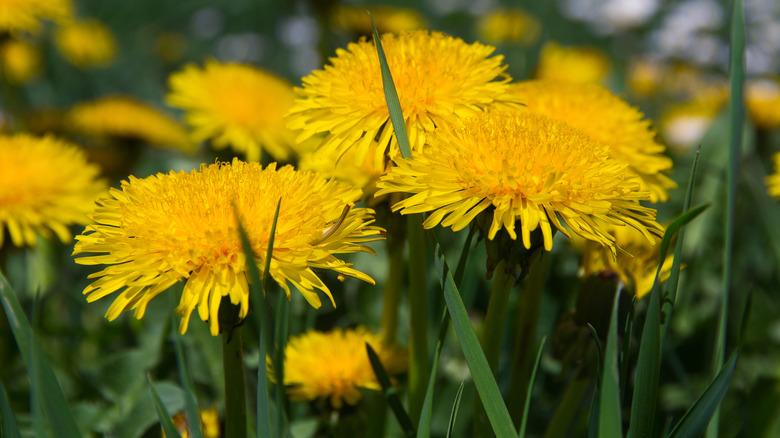 Close up of dandelions