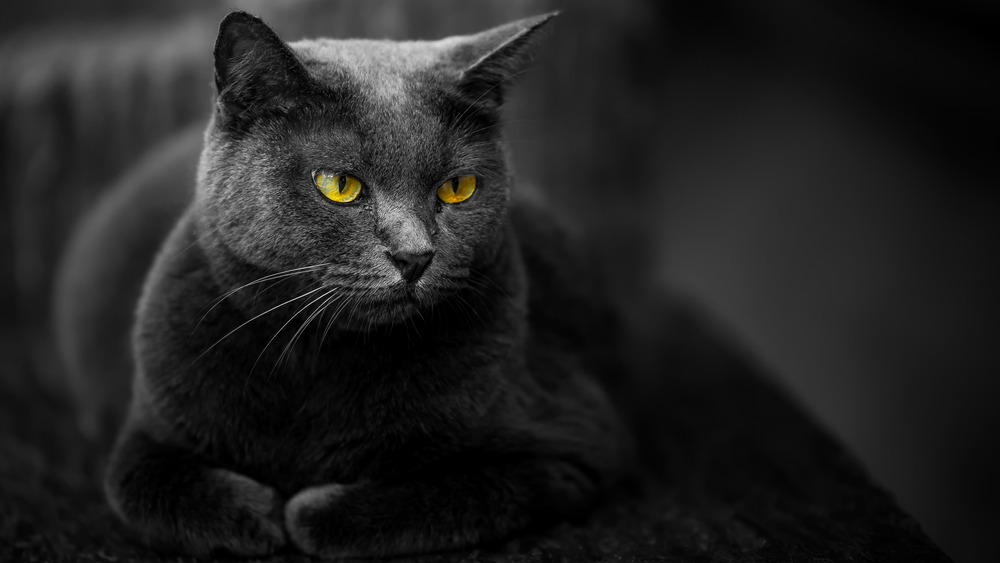 Gray cat with yellow eyes lying down