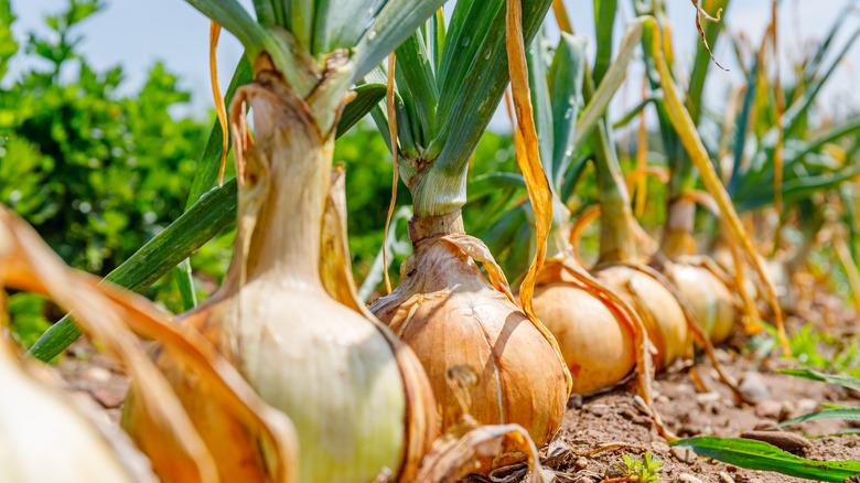 Onion plants growing in garden field