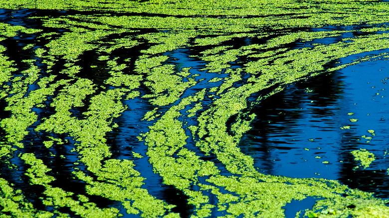 pond green algae scum