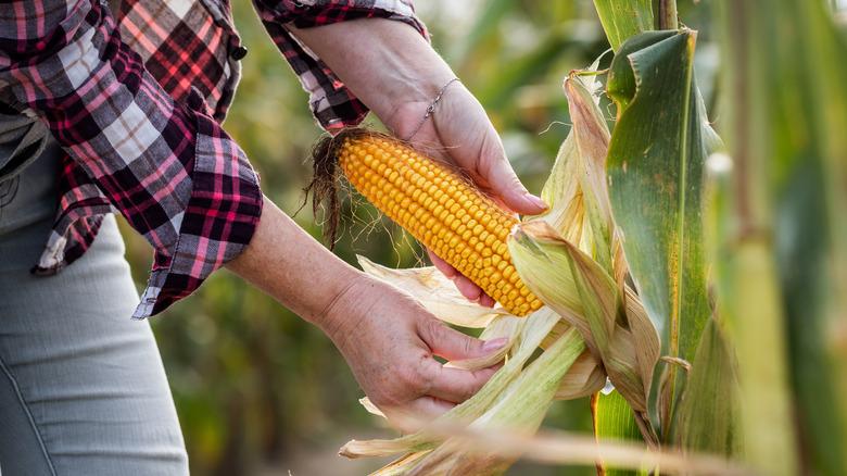 A farmer is peeling a corn on the cob in a field