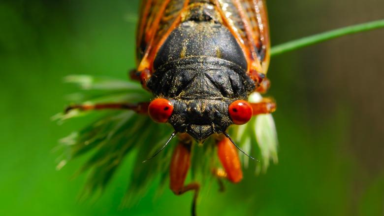 Close up of a cicada