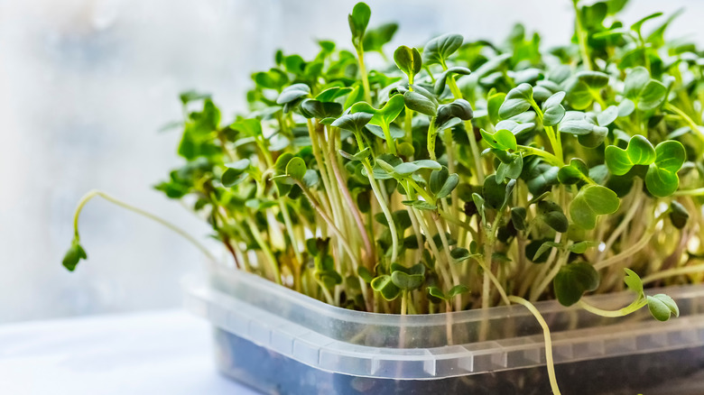 microgreens in a tray