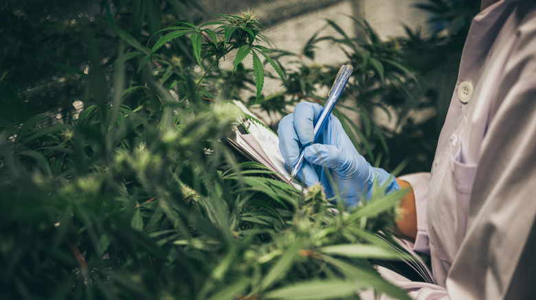 Scientist observing cannabis plants