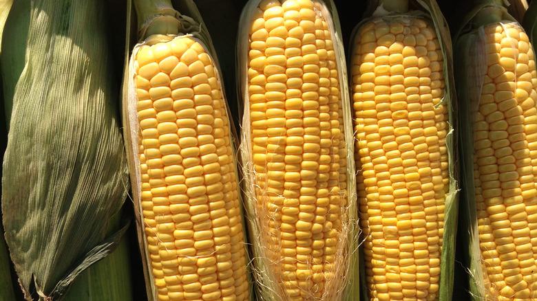 close up of corn still in their husks