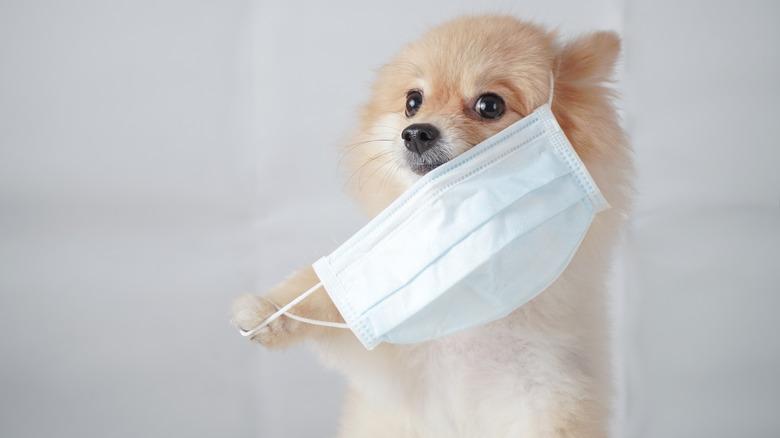 Dog wearing face mask