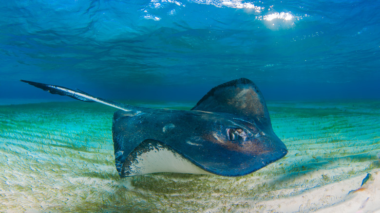 A stingray glides through the water