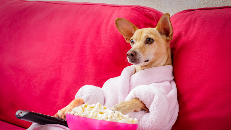 Dog sitting on couch eating popcorn