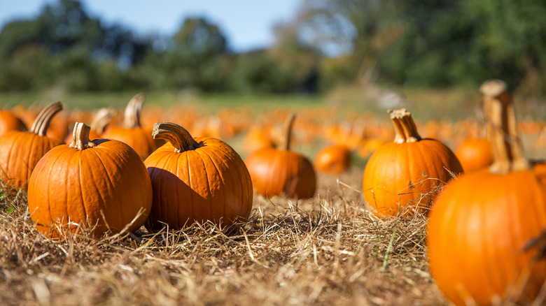 Several pumpkins in a pumpkin patch